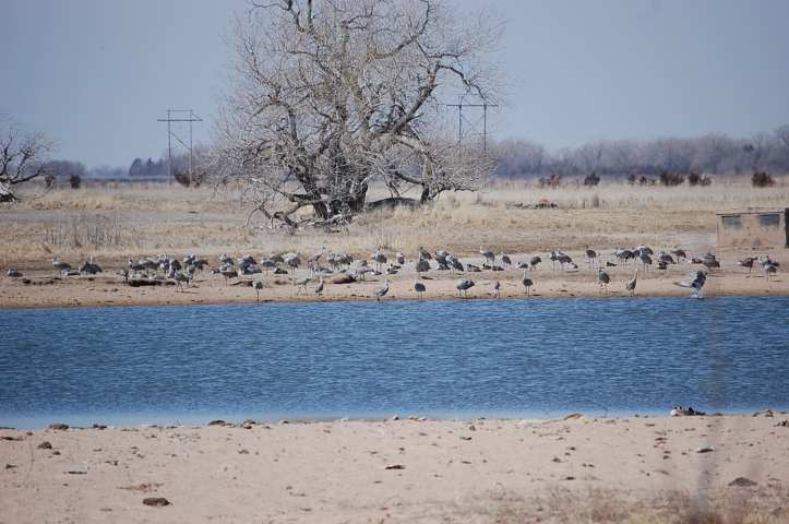 Cranes in sandpit lake at Fort Kearney SRA