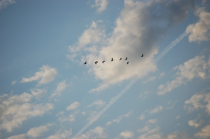 Sandhill cranes, clouds, and vapor trails