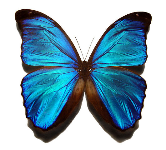 Image courtesy of Gregory Phillips, http://en.wikipedia.or/wiki/File:Blue_morpho_butterfly.jpg. Permission is granted to copy, distribute and/or modify this document under the terms of the GNU Free Documentation License, Version 1.2 or any later version published by the Free Software Foundation; with no Invariant Sections, no Front-Cover Texts, and no Back-Cover Texts. GNU Free Documentation License.